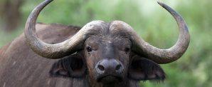 Dove pascolano le bufale